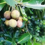 All you need to know about Tamanu oil